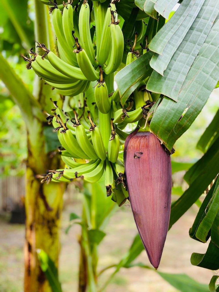 Banana caramel mille feuille